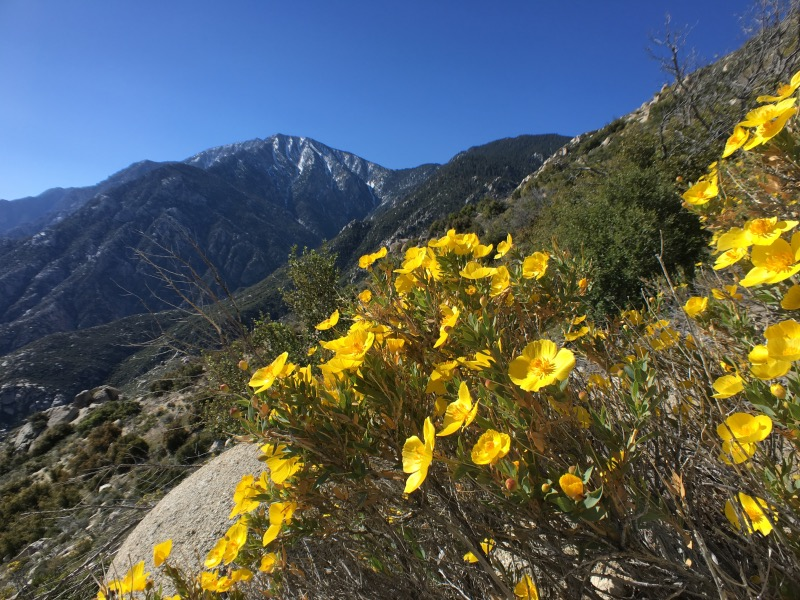 Bush poppy (Dendromecon rigida) and Mount San  Jacinto.