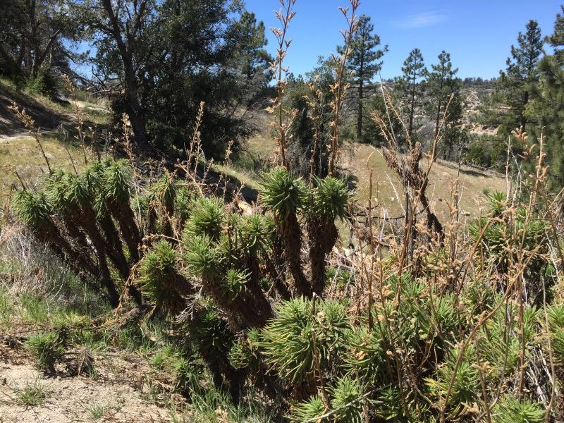Poodle dog bush. Worse than poison oak. Also, smells bad.