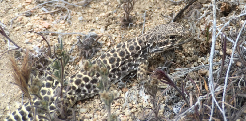 Rob spotted this leopard lizard. Not something we've seen before. Apparently they eat other lizards, and they have a painful bite.